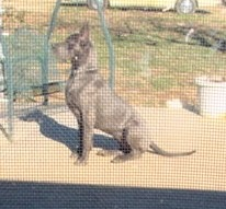 Breeder akc blue great dane puppies ky for sale stud