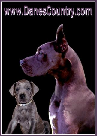 danescountry breeder blue great dane puppies for sale