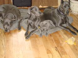 danescountry's breeders great dane blue puppy akc for sale ky stud