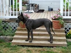 akc blue great dane breeder puppies puppy pups dogs pets kentucky for sale