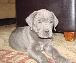 danescountry's blue great dane puppies for sale breeder