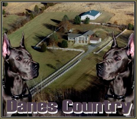 danescountry breeder blue great dane puppies for sale akc kentucky stud male female